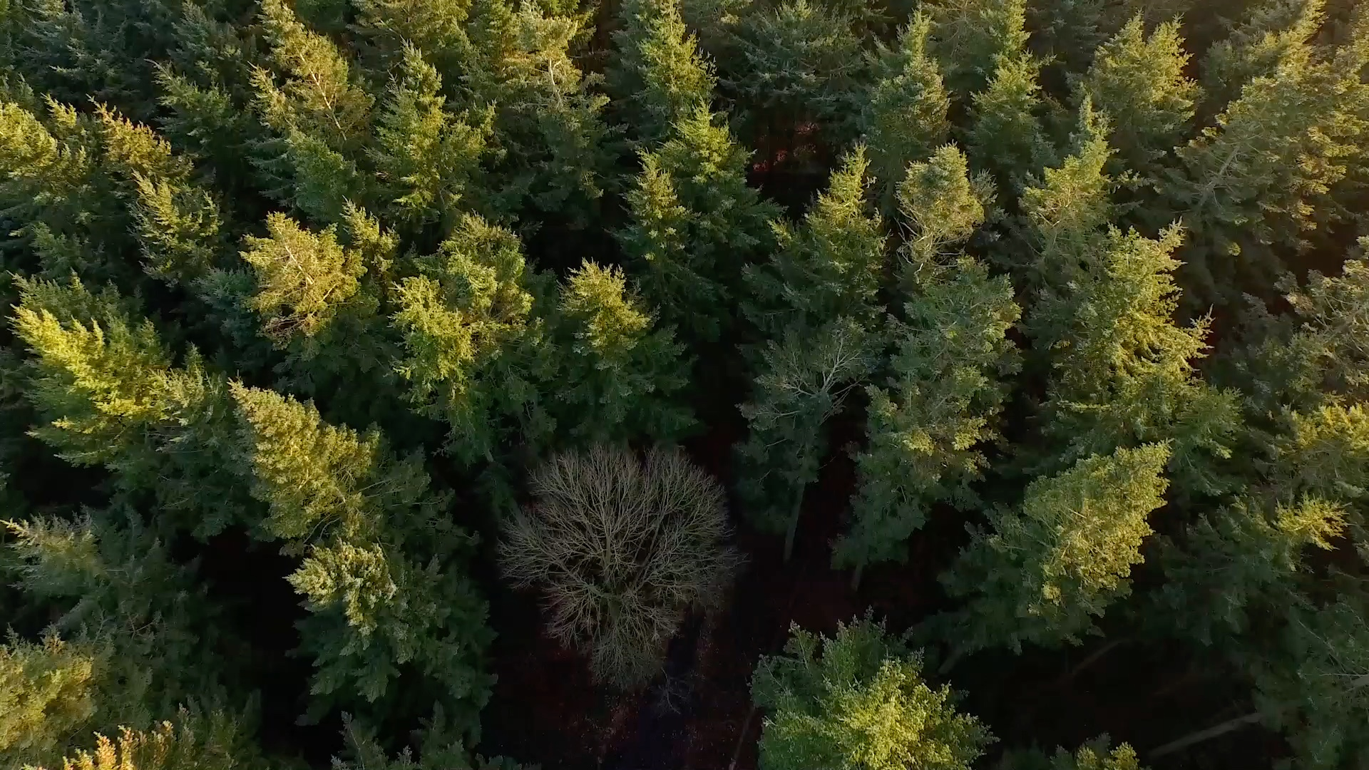 Aerial photo of a large pine forest