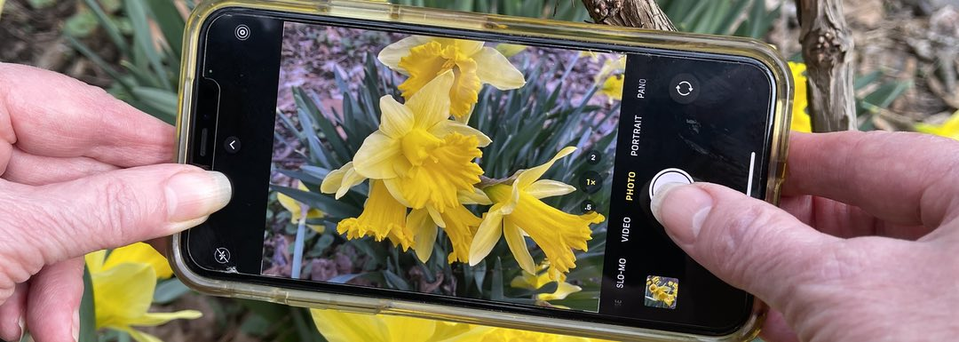 Closeup photo of a person's hands holding a mobile phone taking a picture of a group of yellow daffodils