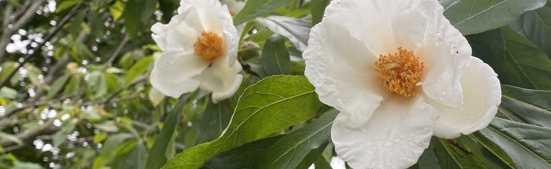 Photo of two white flowers on a background of green leaves