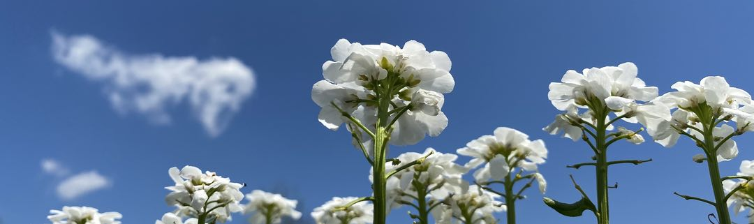 Photo of white flowers against a blue sky with small clouds