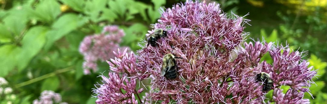 Closeup photo of three bees on a purple flower, with green leaves in the background