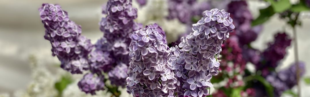 Photo of a group of lilac flowers