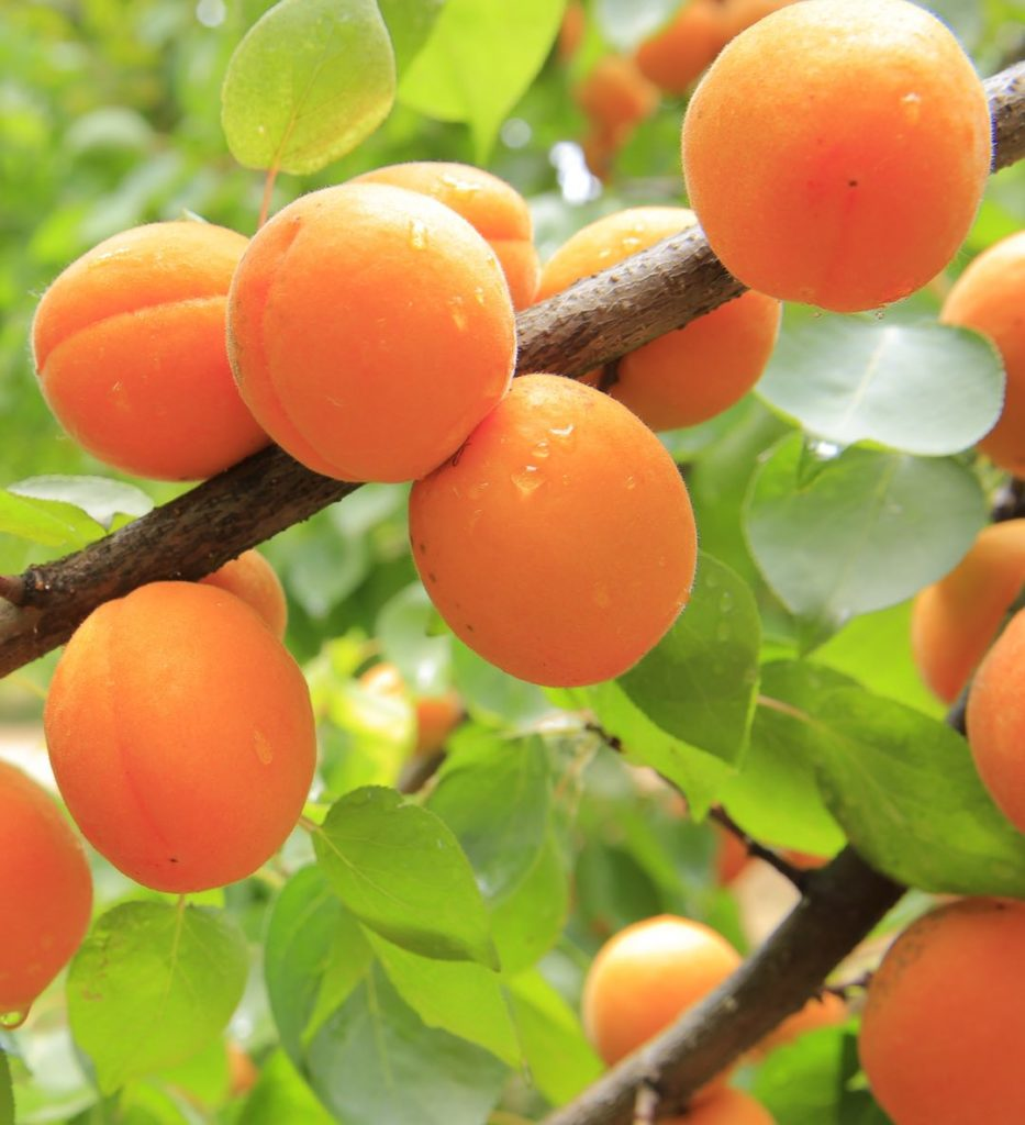 Photo of several orange apricots on a tree branch