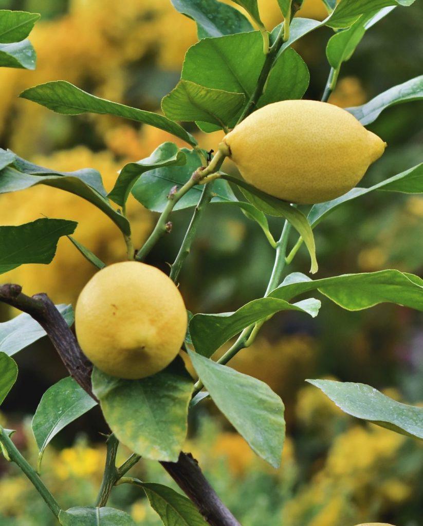Photo of two yellow lemons on a lemon tree