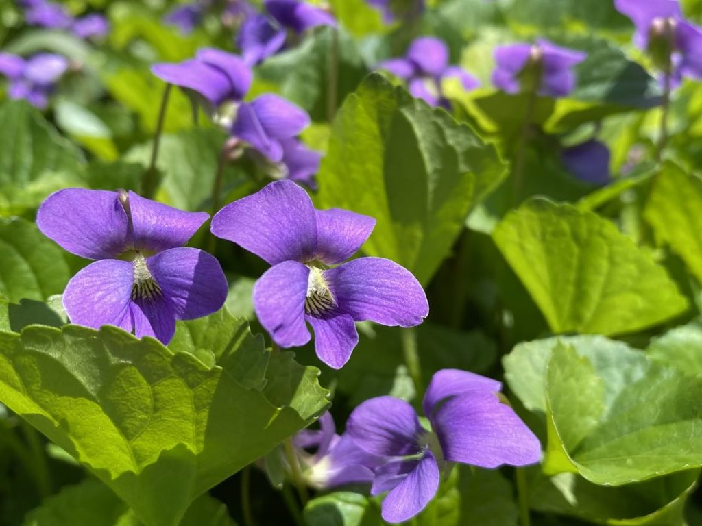 Photo of several purple violets amid green leaves