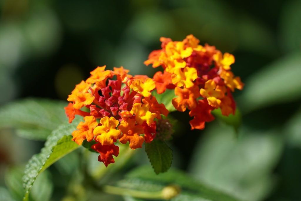 Photo of orange and red wild lantana flowers