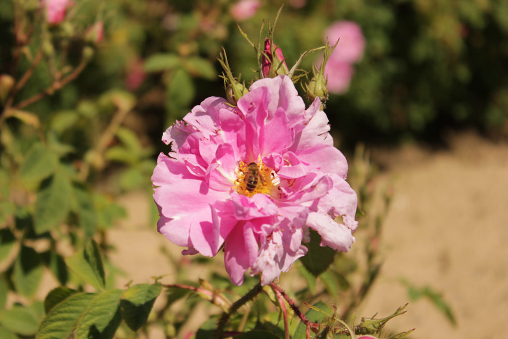 Photo of bulgarian rose with bee in the center