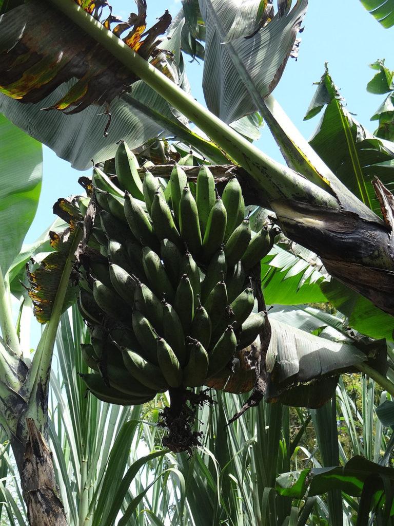 Photo of banana tree