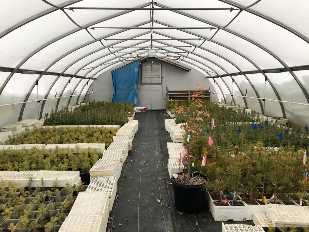Photo of pine seedlings in a greenhouse
