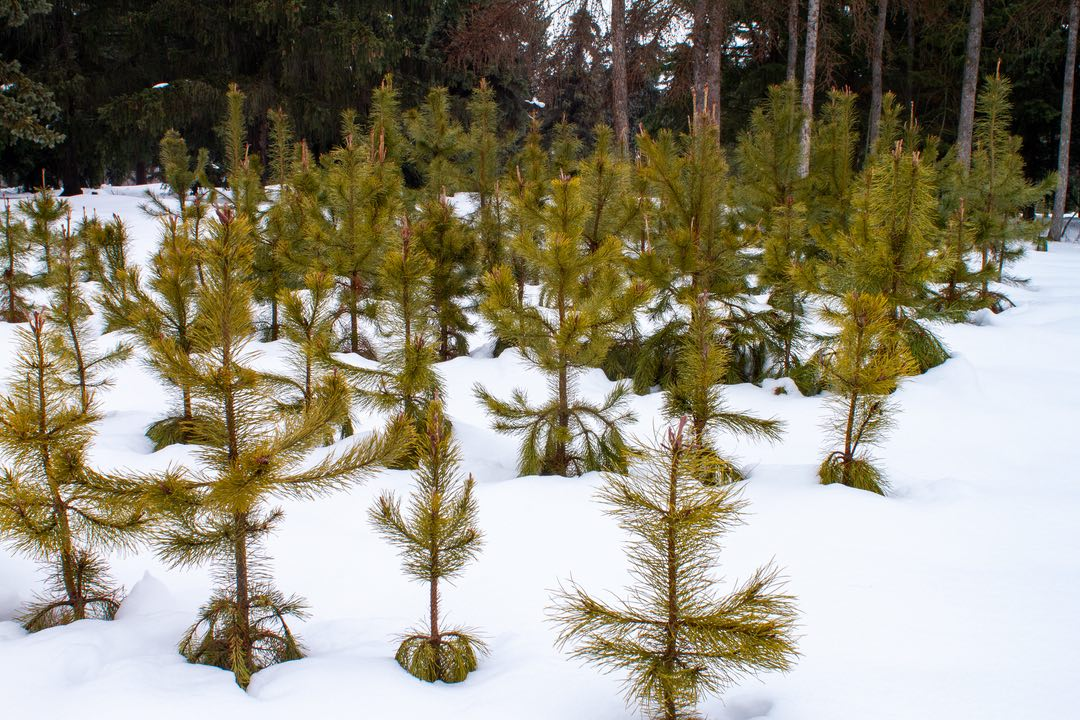 Photo of young pine saplings