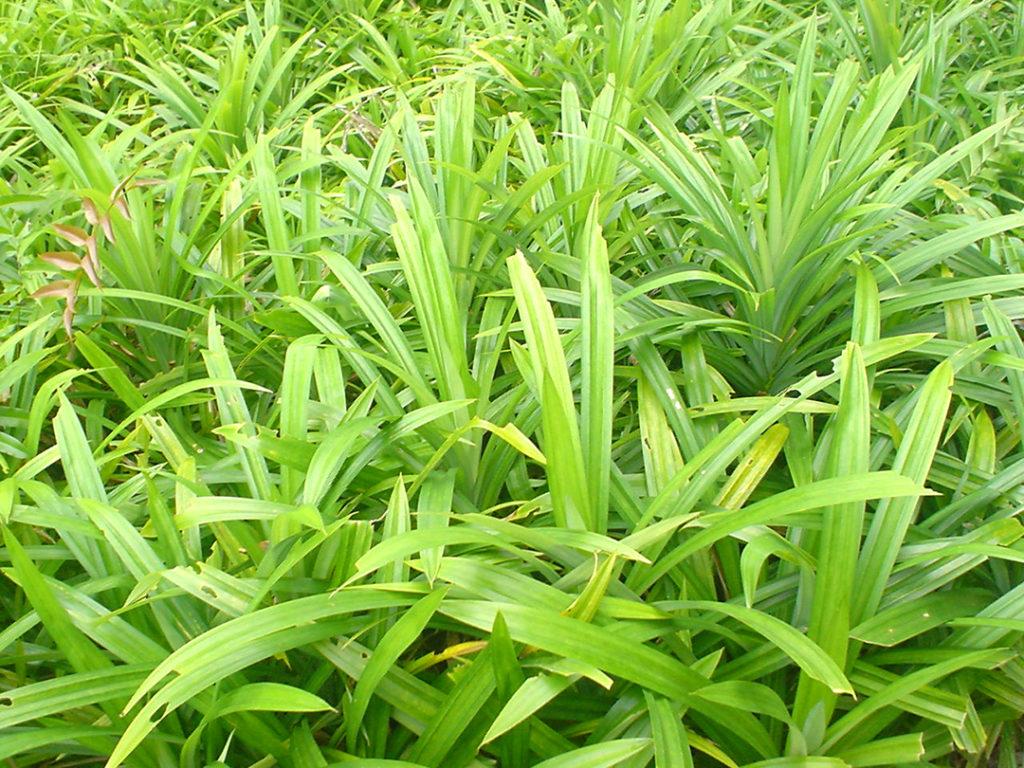 Photo of pandan wangi leaves