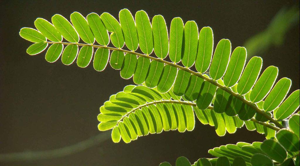 Photo of sesbania leaves