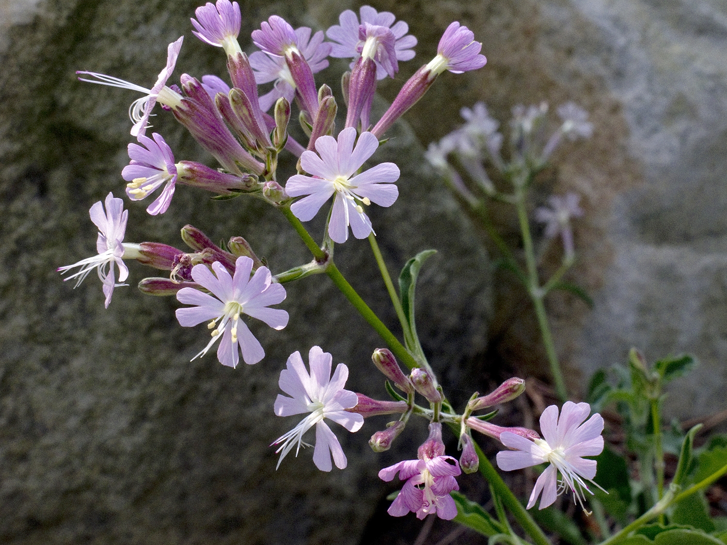 Photo of a group of pale purple silene tomentos flowers on a dark background