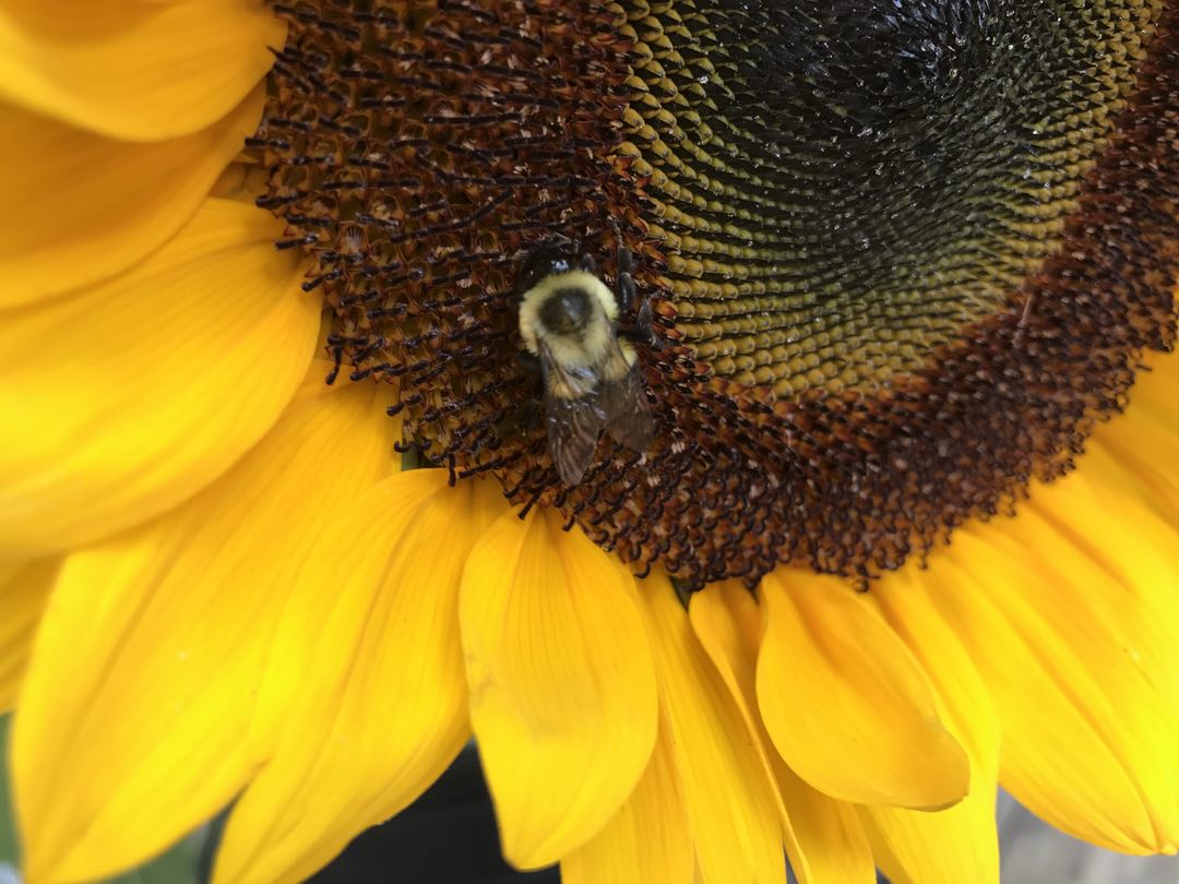 Photo of a bee on a sunflower
