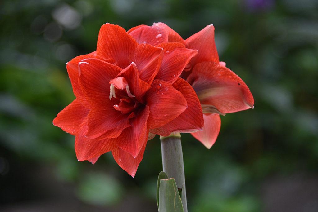 Photo of amaryllis flower