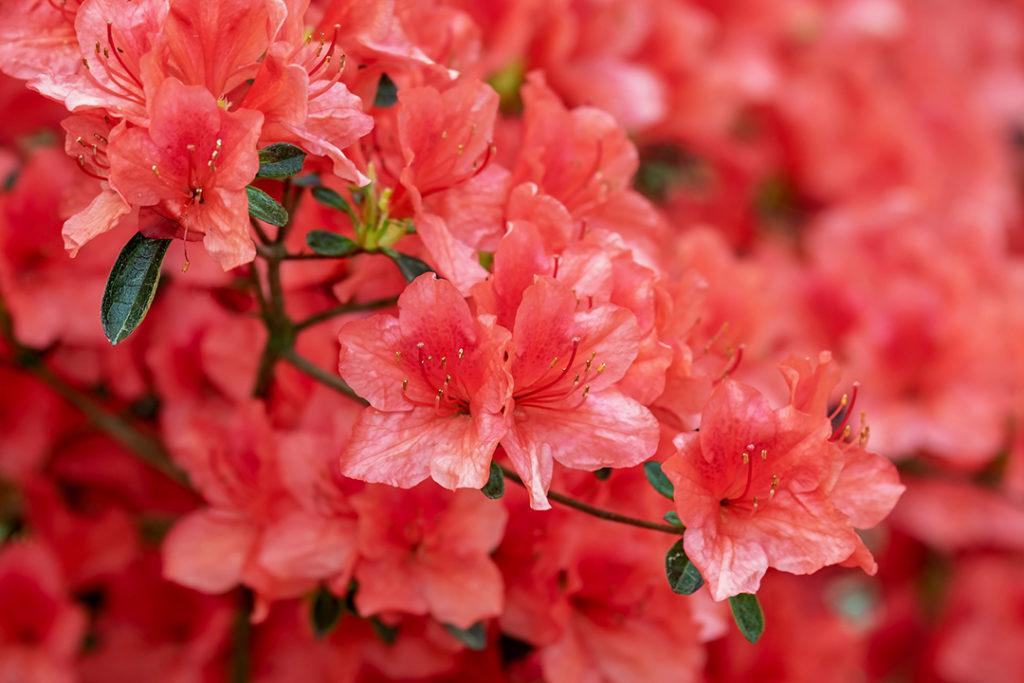 Photo of bloomed azalea