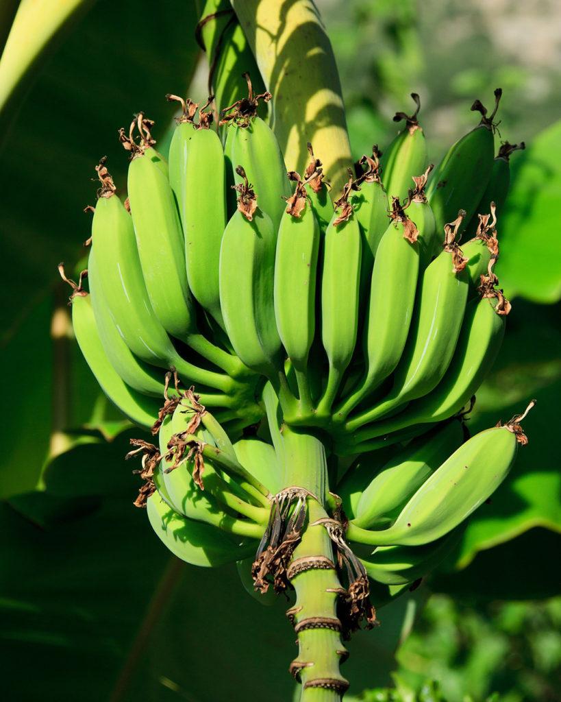Photo of bananas on a tree