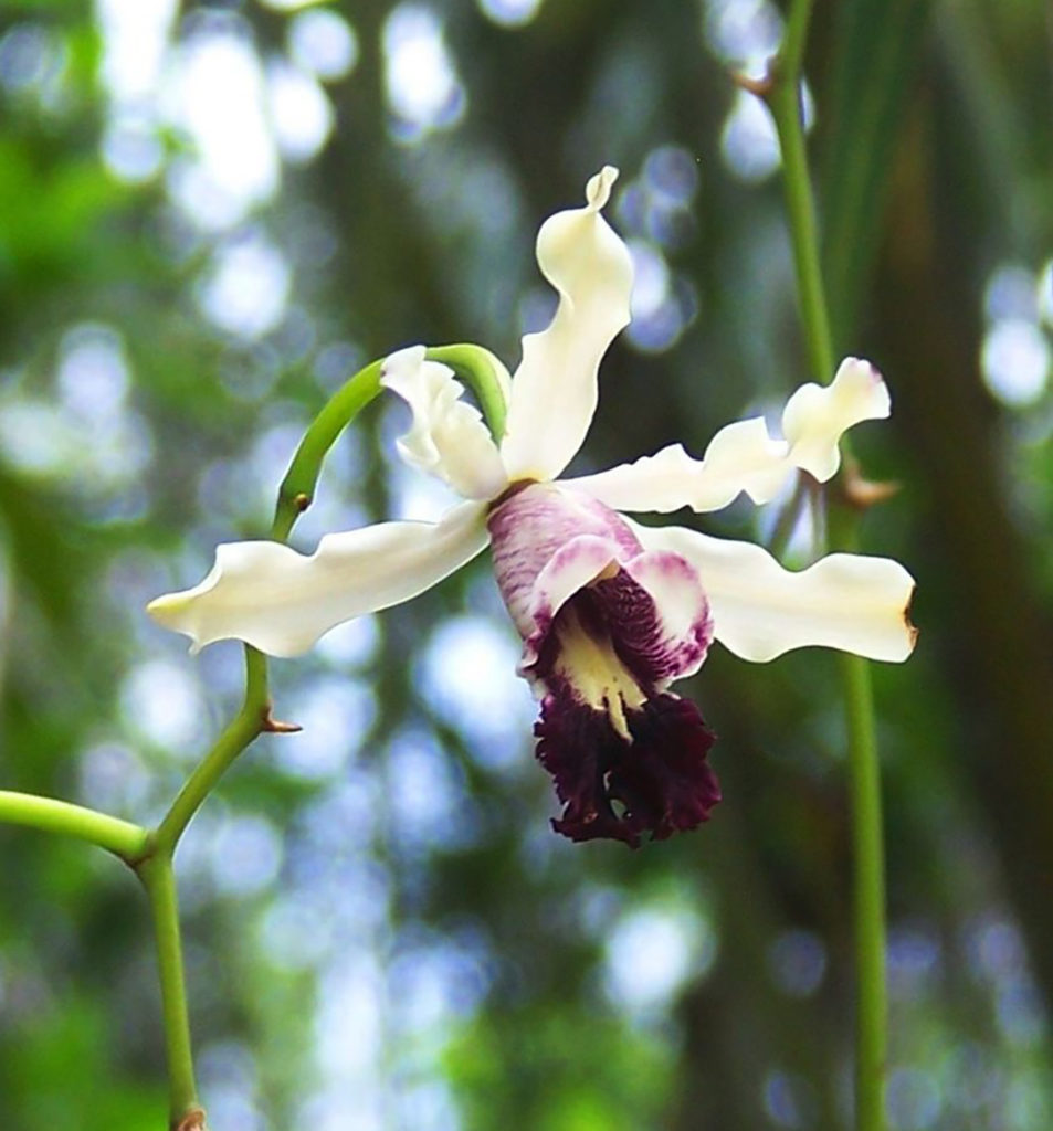 Photo of one wild banana orchid