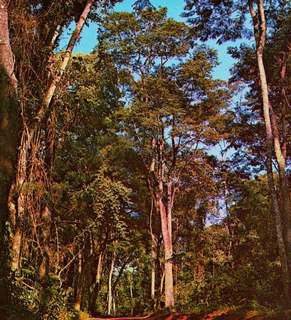 Photo of cabreuva tree