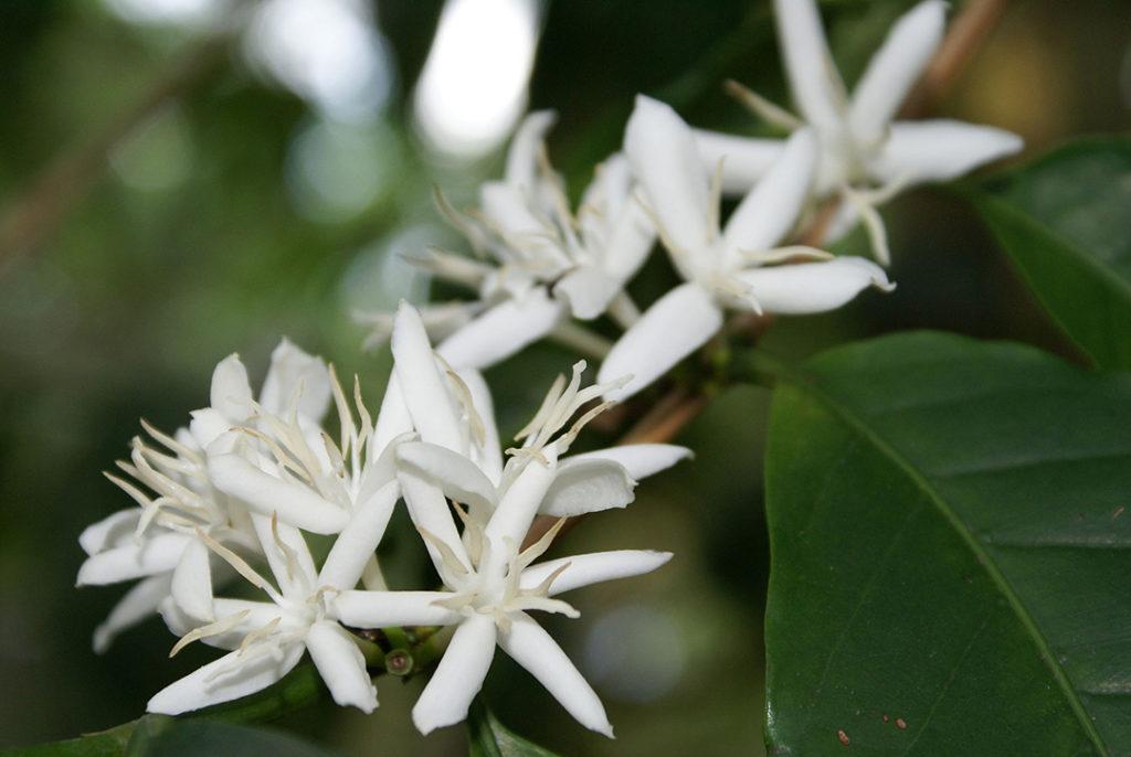 Photo of coffee flowers