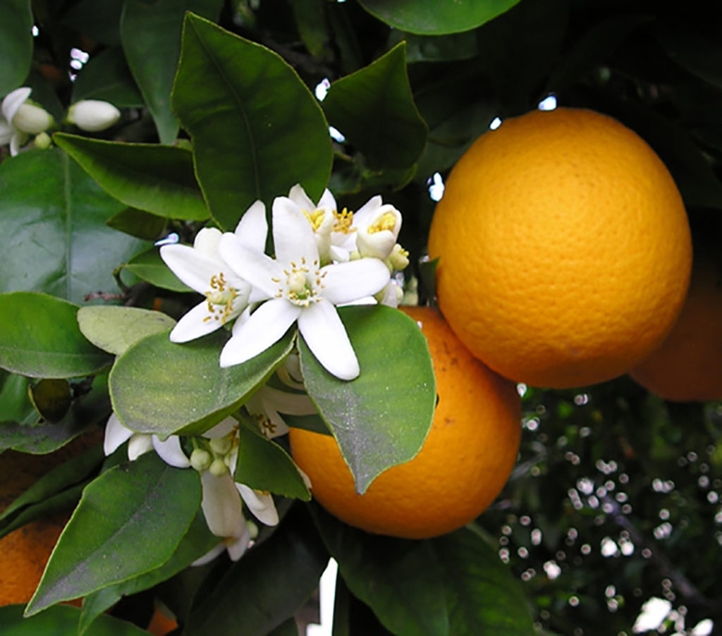 Photo of citrus flowers and two oranges