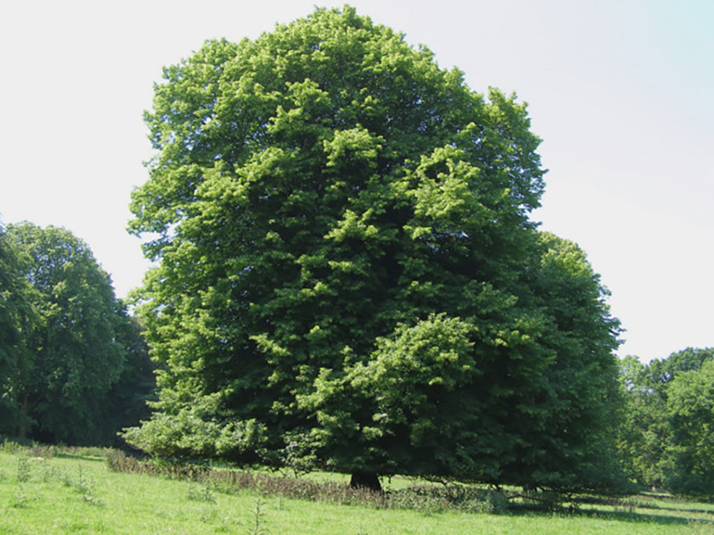 Photo of a linden tree