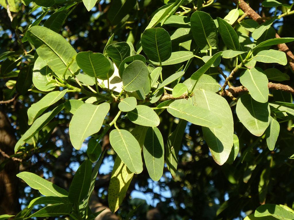 Photo of fig tree leaves
