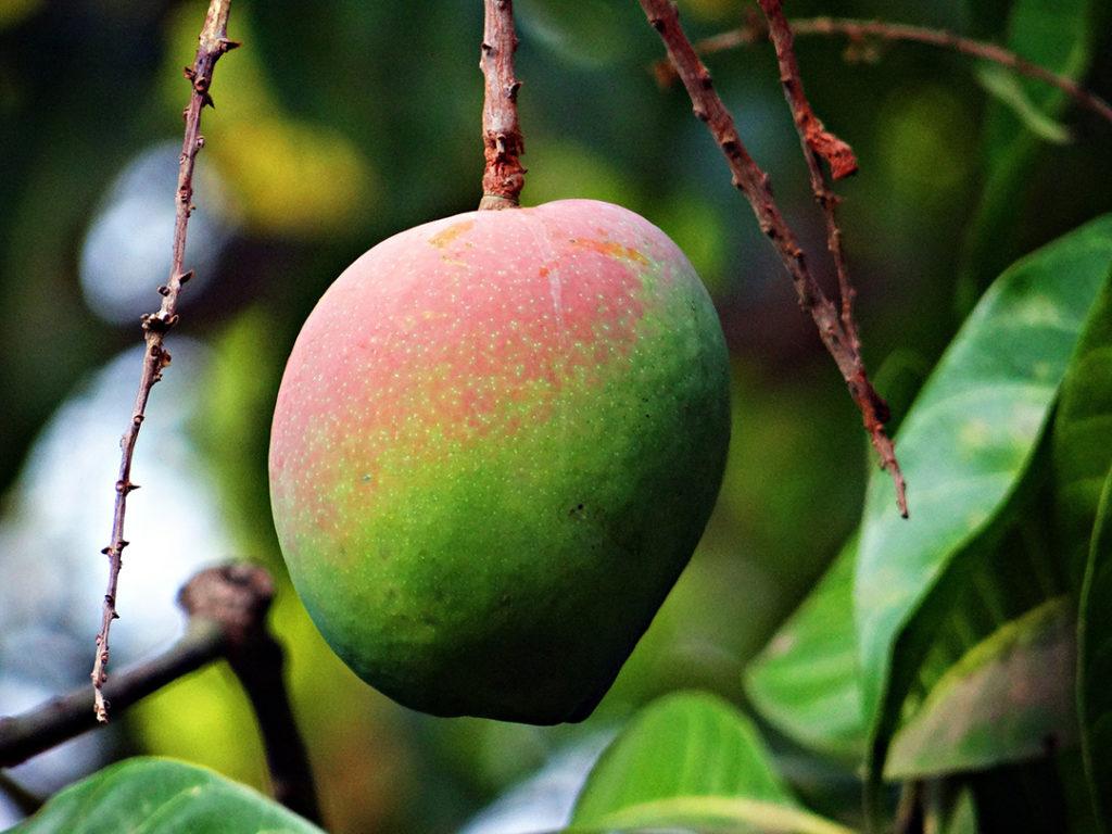 Photo of mango on a tree