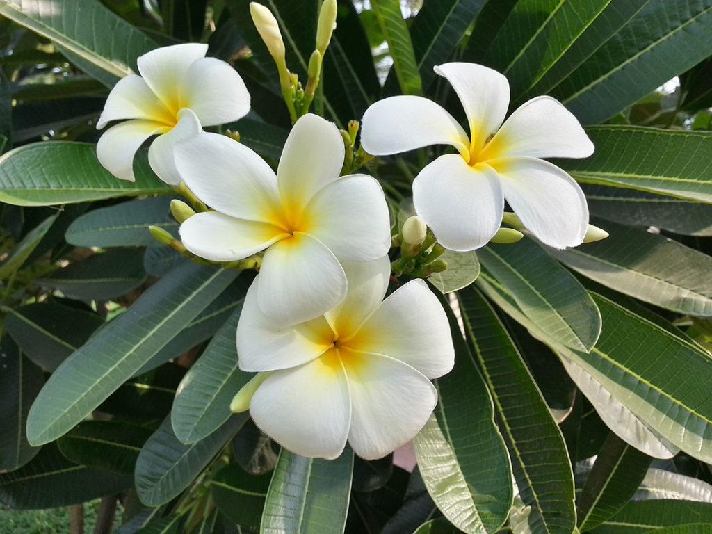 Photo of four plumeria flowers