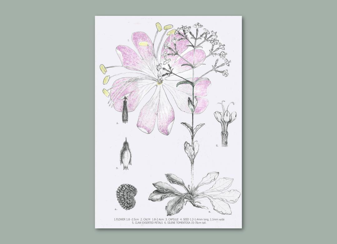Illustration of the silene tomentosa plant