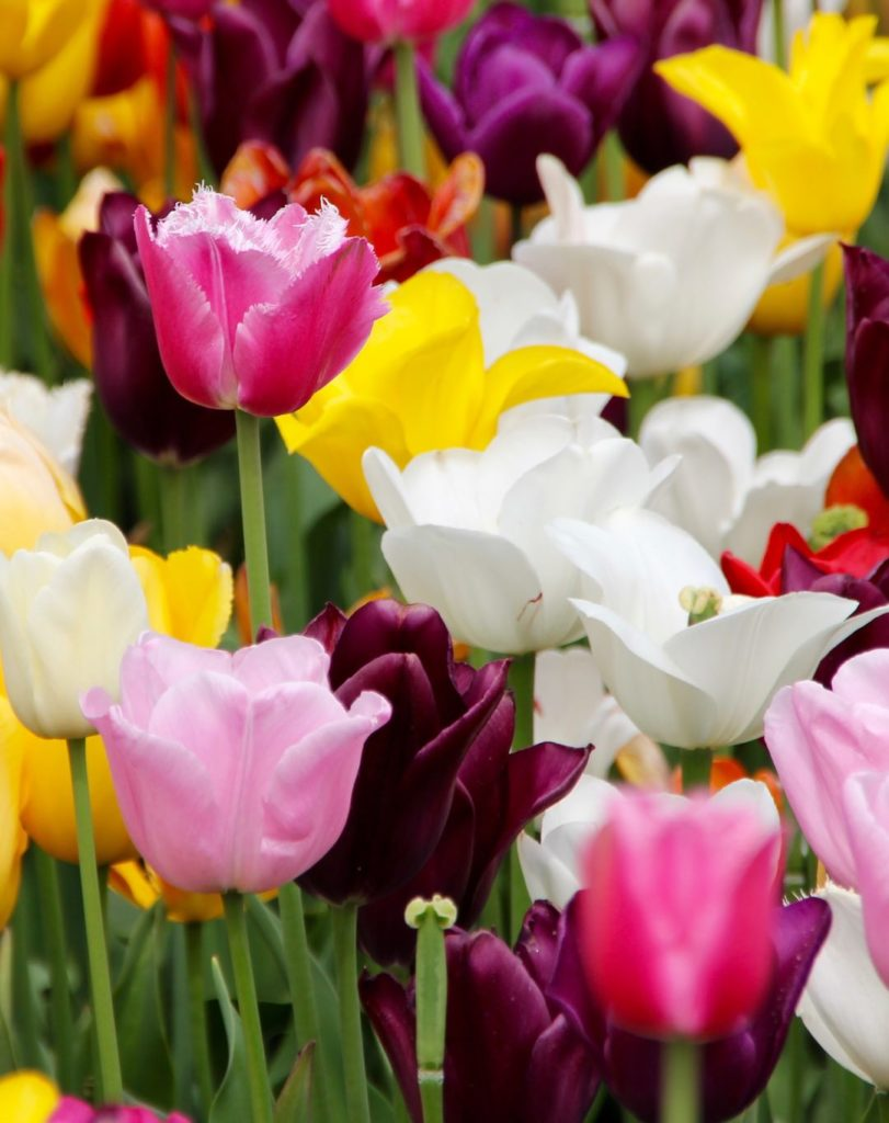 Photo of a field of multi-colored tulips in pink, yellow, red, white, and purple.