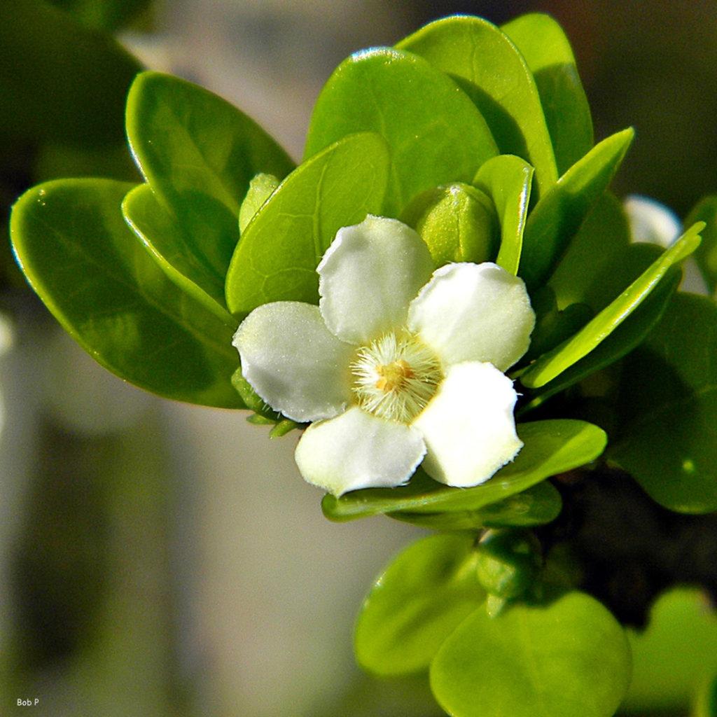Photo of white berry indigo lele