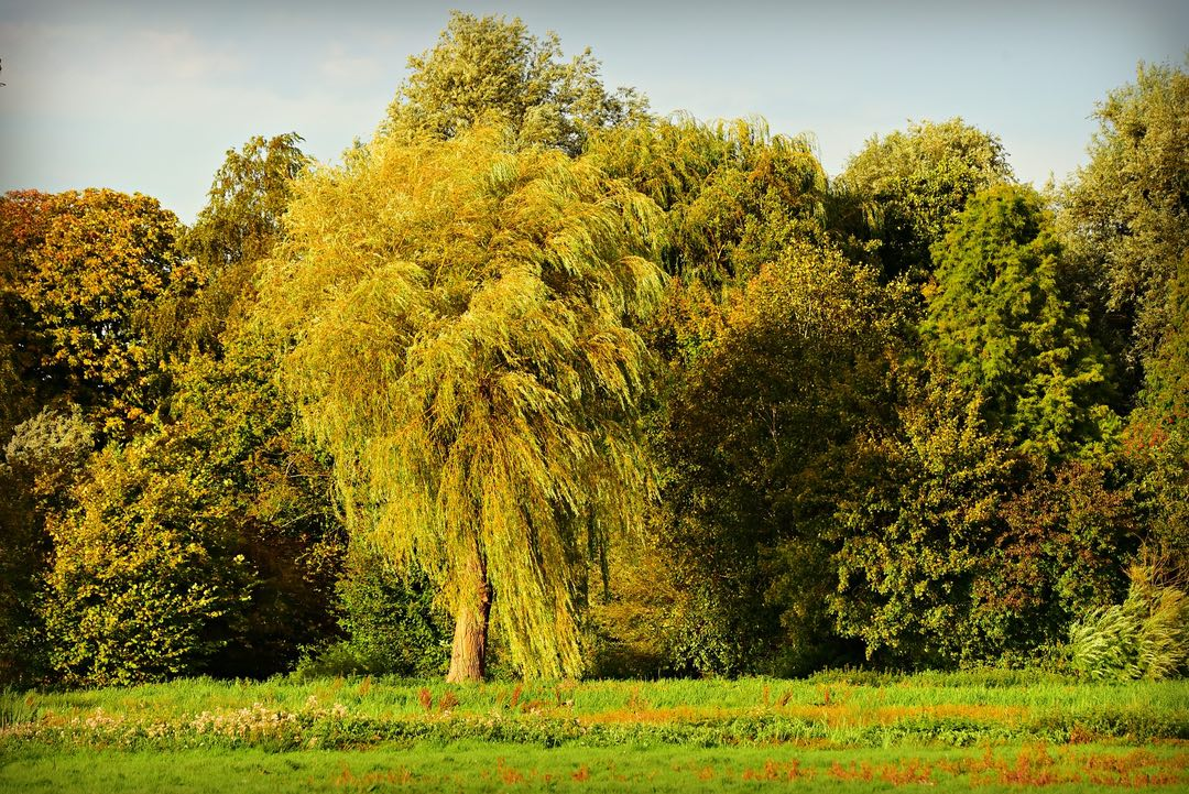 Photo of a yellow willow tree in a field with a mixed forest behind it.