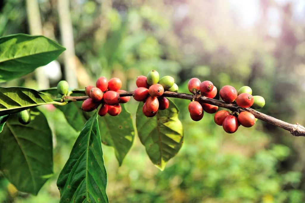 Photo of a coffee branch with red-brown beans