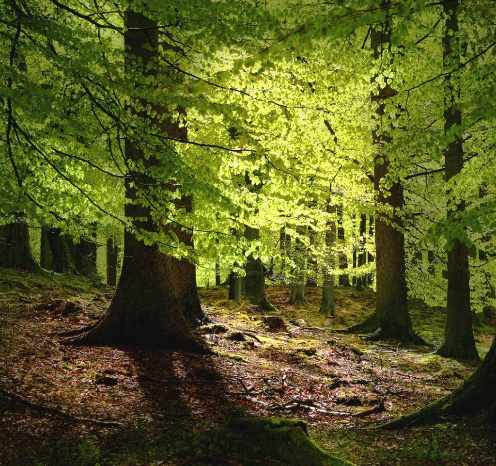 Photo of beech trees in Denmark