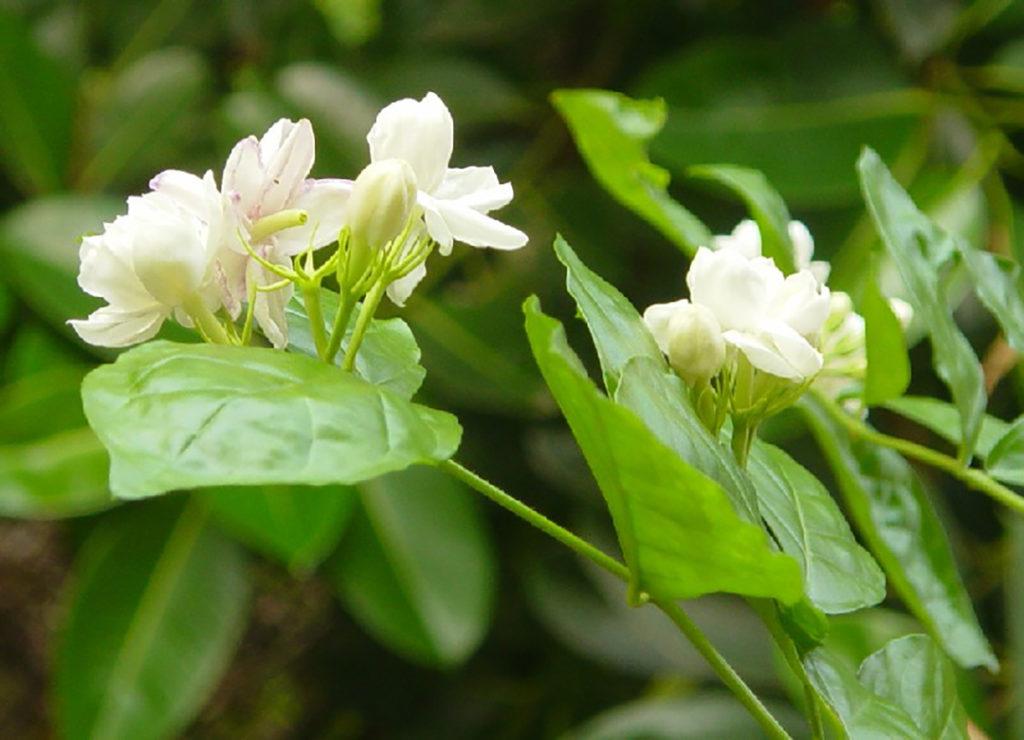 Photo of jasmine flowers