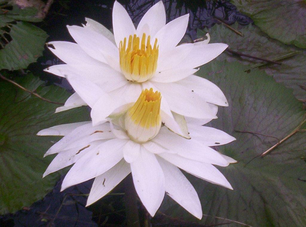 Photo of two lotus