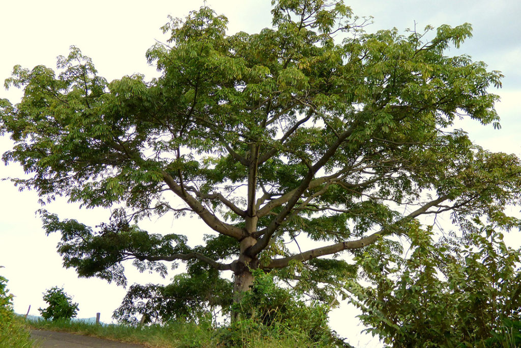 Photo of ceiba tree