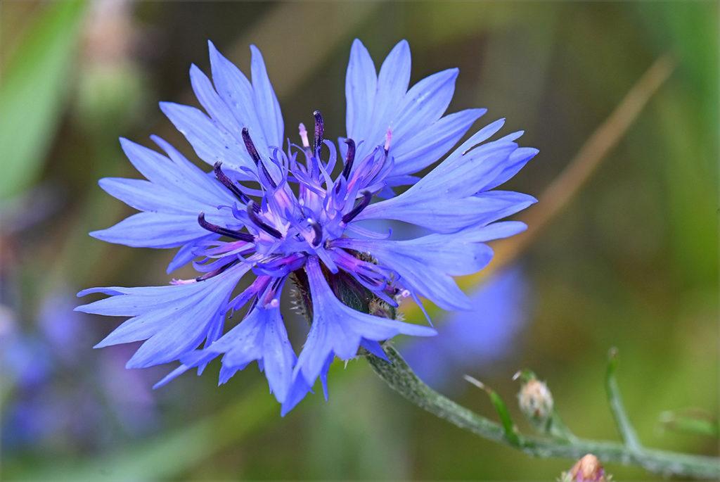 Photo of cornflower