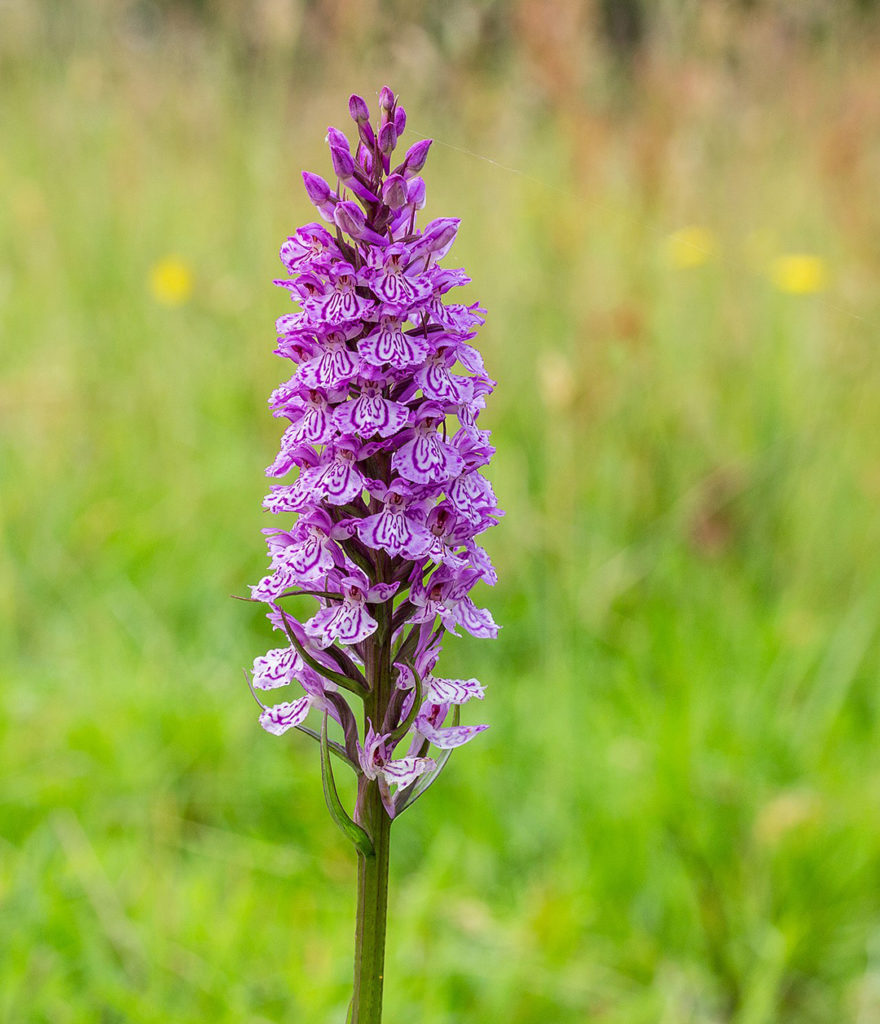 Photo of spotted orchid