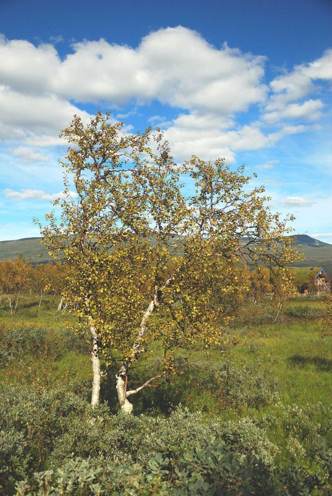Photo of birch tree