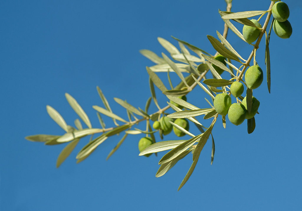 Photo of olive leaves and olives