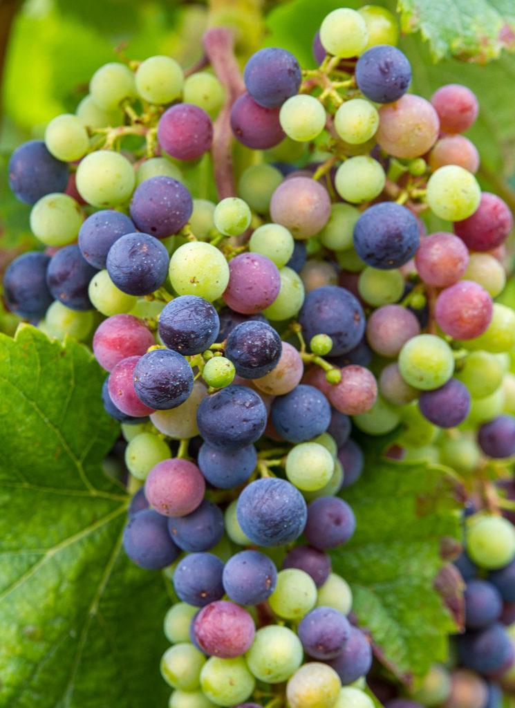 Photo of multi-colored grapes