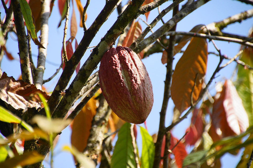 Photo of cacao fruit on a cocoa tree