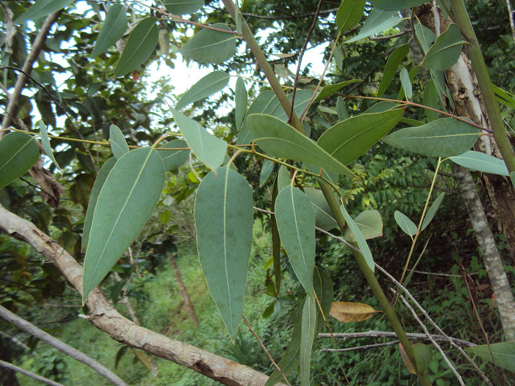 Photo of leaves of a red gum tree