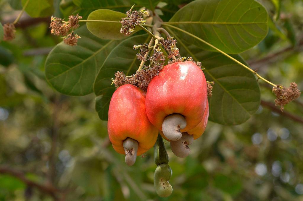 Photo of two cashew fruits