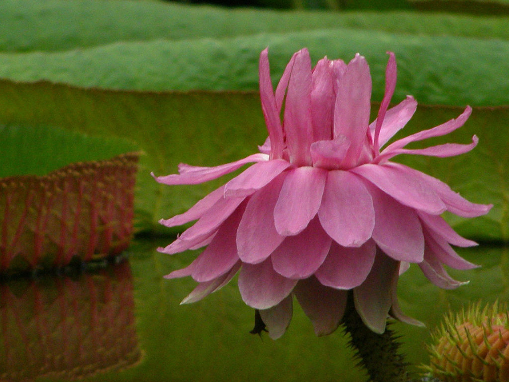 Photo of one pink lily