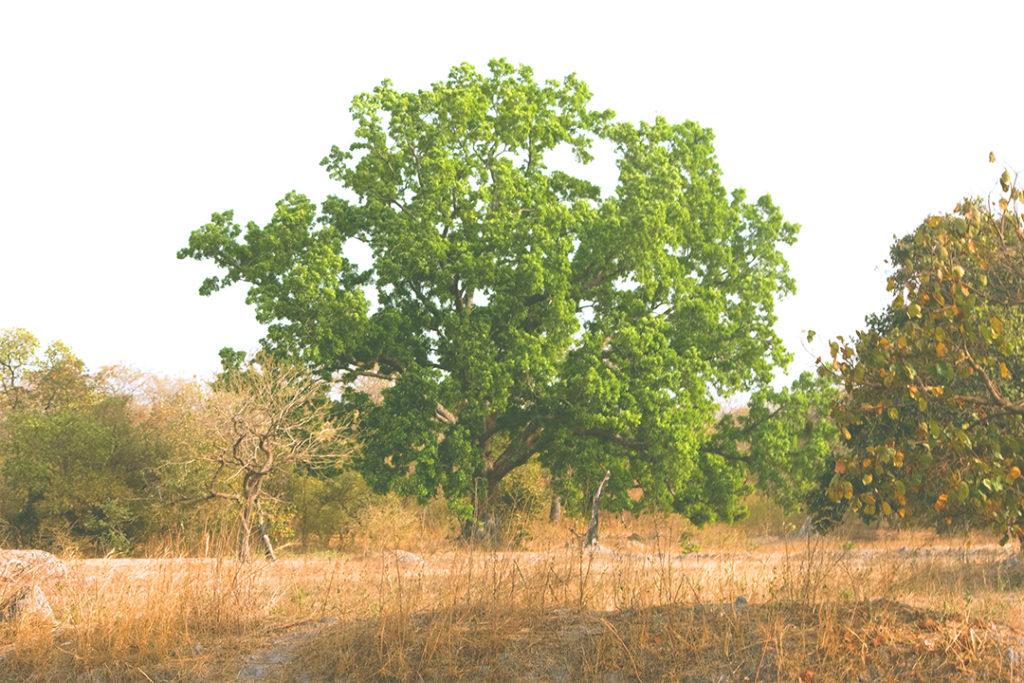 Photo of gabon mahogony tree