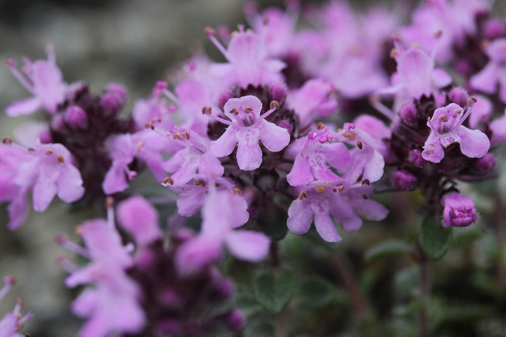 Photo of small purple flowers