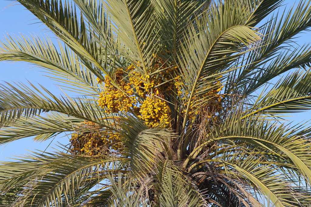 Photo of date palm leaves and fruit